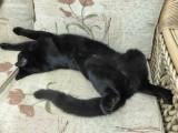 Blenheim, Cat